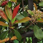 3 x Photinia Fraseri 'Red Robin' - Glansmispel 40 - 60 cm in pot - 3 stuks of 1 lopende meter