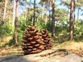 100+ Natuurlijke Dennenappels |perfect voor Herfst en Kerstdecoratie 4 tot 7 cm hoog |  Denneappels > 100 stuks