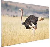 Struisvogel in de natuur Aluminium 90x60 cm - Foto print op Aluminium (metaal wanddecoratie)