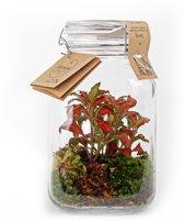 Kamerplant van Botanicly – Closed Jar 3L Medium Size - Fittonia – Hoogte: 25 cm