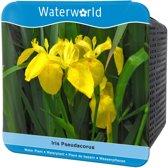 Waterworld® Aqua Set - Iris Pseudacorus - Gele Lis