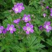 6 x Geranium Sylvaticum -   Bosooievaarsbek pot 9x9cm