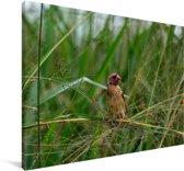 Roodbekwever in het riet Canvas 30x20 cm - klein - Foto print op Canvas schilderij (Wanddecoratie woonkamer / slaapkamer)