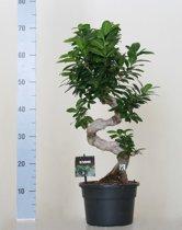 Ficus microcarpa ginseng bonsai S-model 70cm hoog