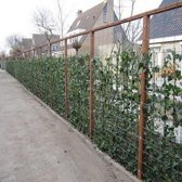 Hedera Hibernica 75/100cm (klimop) - Klimplant  | groen - groenblijvend