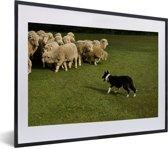 Foto in lijst - Border Collie die de schapen in een groen weiland hoedt fotolijst zwart met witte passe-partout klein 40x30 cm - Poster in lijst (Wanddecoratie woonkamer / slaapkamer)