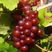 Vitis 'Vanessa'; Totale hoogte 50-70cm incl. Ø15cm pot | Heerlijke, pitloze druif.| Winterhard en resistent tegen Meeldauw