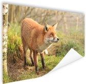 Nieuwsgierige vos Poster 60x40 cm - Foto print op Poster (wanddecoratie woonkamer / slaapkamer) / Dieren Poster
