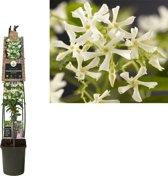 Trachelospermum Klimplanten   - Pot 23 cm (Jasminoidus wit - bloei mei-september)
