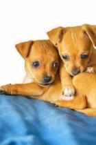 Two Cute Little Chihuahua Puppies Pet Journal