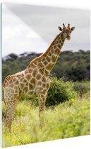 Giraf in de natuur Glas 20x30 cm - klein - Foto print op Glas (Plexiglas wanddecoratie)