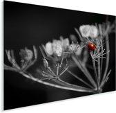 Zwart-wit foto van een rode lieveheersbeestje op een plant Plexiglas 40x30 cm - klein - Foto print op Glas (Plexiglas wanddecoratie)
