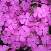 6 x Phlox 'Mac Daniel'S Cushion' - Vlambloem pot 9x9cm