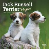 Jack Russell Terrier Puppies 2020 Mini 7x7