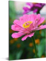 Zinnia bloeit in de tuin Aluminium 60x90 cm - Foto print op Aluminium (metaal wanddecoratie)