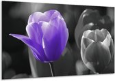 Glasschilderij Tulp | Paars, Grijs, Zwart | 120x70cm 1Luik | Foto print op Glas |  F003619