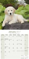 Golden Retriever Puppies Calendar 2017
