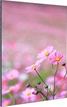 Cosmos bloem Aluminium 60x90 cm - Foto print op Aluminium (metaal wanddecoratie)