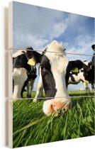 Close up van een grazende Friese koe Vurenhout met planken 60x90 cm - Foto print op Hout (Wanddecoratie)