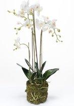 Emerald - Phalaenopsis - Met kluit - 80 cm - Wit