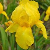 6 x Iris 'Ola Kala '-  Baardiris pot 9x9cm