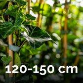 Hedera 120-150cm