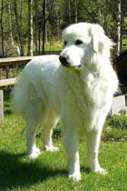 Pyrenean Mountain Dog Lined Journal