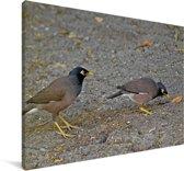 Twee treurmainas opzoek naar voedsel Canvas 90x60 cm - Foto print op Canvas schilderij (Wanddecoratie woonkamer / slaapkamer)
