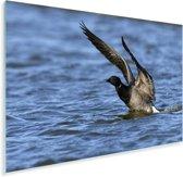 Rotgans vliegt uit het water Plexiglas 90x60 cm - Foto print op Glas (Plexiglas wanddecoratie)