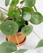 Choice of Green Pannenkoekenplant (Pilea Peperomioides) - 3 stuks
