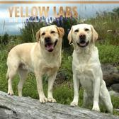 Labrador Retrievers Blond Kalender 2018 Browntrout