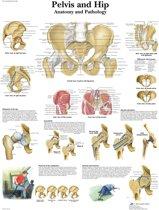 Het menselijk lichaam - anatomie poster bekken en heup (gelamineerd, 50x67 cm)