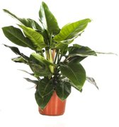Philodendron Green Large