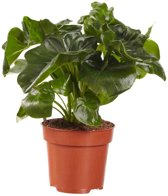 Choice of Green - 1 Philodendron Atom oftewel Philodendron - Kamerplant in Kwekerspot ⌀12 cm - Hoogte ↕40 cm