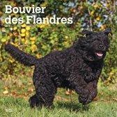 Bouvier des Flandres Kalender 2019