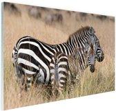 Zebras in de natuur Glas 120x80 cm - Foto print op Glas (Plexiglas wanddecoratie)
