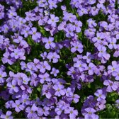 6 x Aubrieta 'Cascade Blue' - Randjesbloem pot 9x9cm