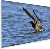 Rotgans vliegt uit het water Plexiglas 30x20 cm - klein - Foto print op Glas (Plexiglas wanddecoratie)