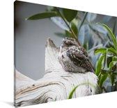 Uilnachtzwaluw in een boom Canvas 180x120 cm - Foto print op Canvas schilderij (Wanddecoratie woonkamer / slaapkamer) XXL / Groot formaat!
