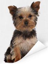 Poserende Yorkshire Terrier Poster 60x80 cm - Foto print op Poster (wanddecoratie woonkamer / slaapkamer) / Huisdieren Poster