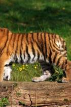 Mindblowing Cute Big Cats Journal 9