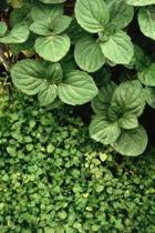 Farm Journal Mint Leaves Plants