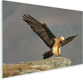 Lammergier landt op een rots Plexiglas 180x120 cm - Foto print op Glas (Plexiglas wanddecoratie) XXL / Groot formaat!