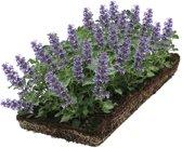 Covergreen® kant-en-klare plantenmat kattenkruid (Nepeta)