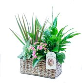 Huiskamer Plantjes In Mandje Leuk Cadeau Kantoor