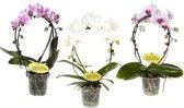 Phalaenopsis Mirror miracle (Wit), 40 CM hoog, 12 CM potdiameter
