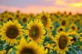 Papermoon Field of Sunflowers Vlies Fotobehang 250x186cm 5-Banen