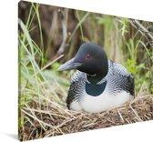 Ijsduiker op zijn nest Canvas 60x40 cm - Foto print op Canvas schilderij (Wanddecoratie woonkamer / slaapkamer)