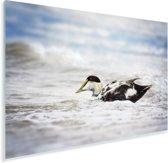 Een eider in het golfschuim Plexiglas 30x20 cm - klein - Foto print op Glas (Plexiglas wanddecoratie)