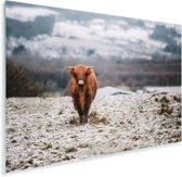 Een Schotse hooglander kalf loopt richting de camera Plexiglas 180x120 cm - Foto print op Glas (Plexiglas wanddecoratie) XXL / Groot formaat!